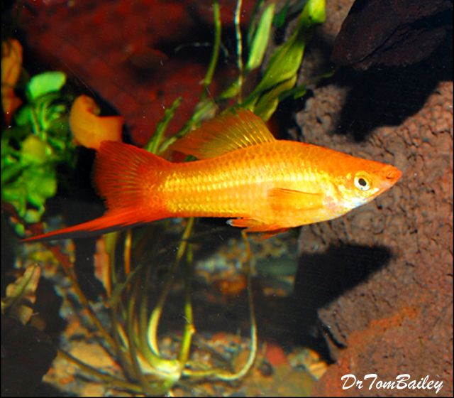 """Premium MALE Marigold Swordtail, 1.5"""" to 2"""" long (Males only no females in this code.)"""