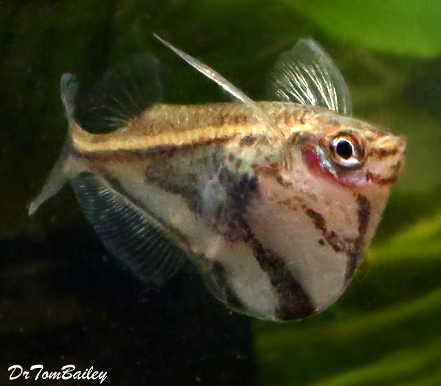 "Premium Marbled Hatchetfish, 1"" to 1.2"" long"