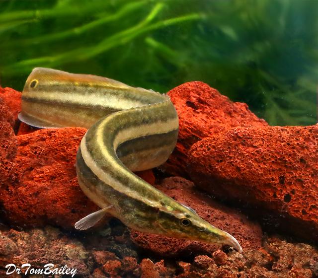 """Premium One-Stripe Eel, 6"""" to 7"""" long"""
