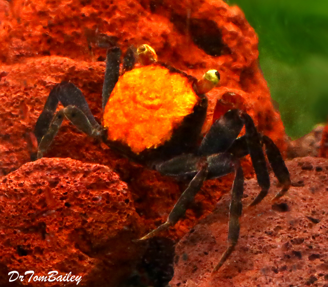 "Premium Freshwater Red Devil Crab, 1"" to 1.5"" wide"