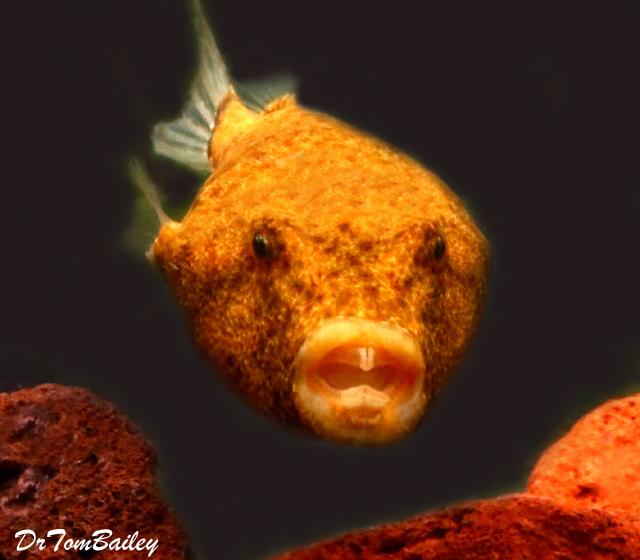 """Premium Freshwater Congo Miurus Pufferfish, 2.5"""" to 3"""" long"""