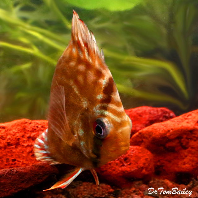 "Premium Red and Brown Discus, 2 to 2.5"" long"