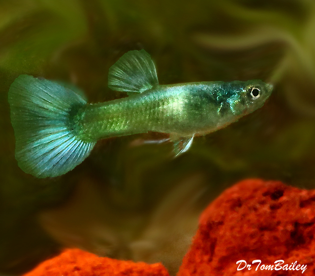 "Premium Male Moscow Green Fancy Guppy, 1"" to 1.5"" long"