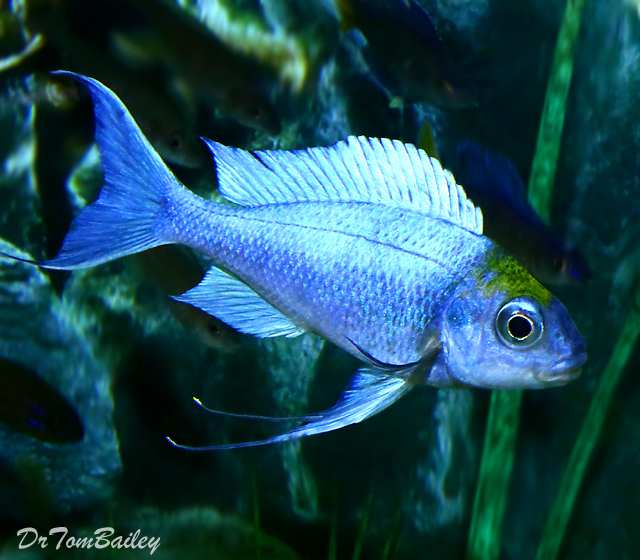 "Premium Lake Tanganyika Male Opthalmotilapia Ventralis ""Chaitika Black Head Variation"" Cichlid, 2"" to 2.5"" long"