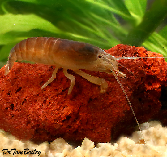 "Premium Rare Vampire Shrimp, 2"" to 2.5"" long"