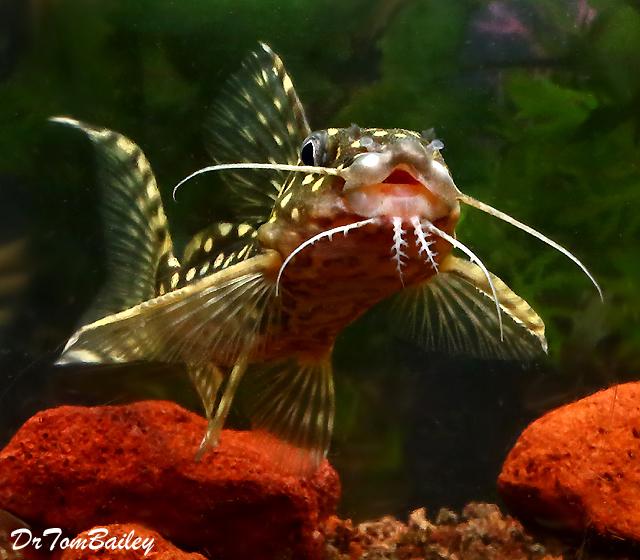 "Premium, Rare, Wild Polka Dot Squeaker Catfish, Synodontis Angelicus, 4.5"" to 5"" long"