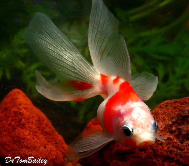 """Premium New Rare Sakura Ryukin Goldfish, 2.5"""" to 3"""" long"""