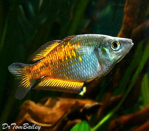 "Premium, Orange Parkinson's Rainbowfish, 1"" to 1.5"" long"