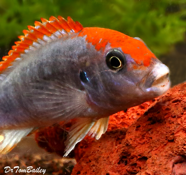 "Premium Red Top Ndumbi Mbuna Cichlid, 2"" to 3"" long"
