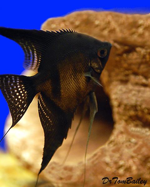 """Premium Rare, Black Angelfish, 3.5"""" to 4"""" tall"""
