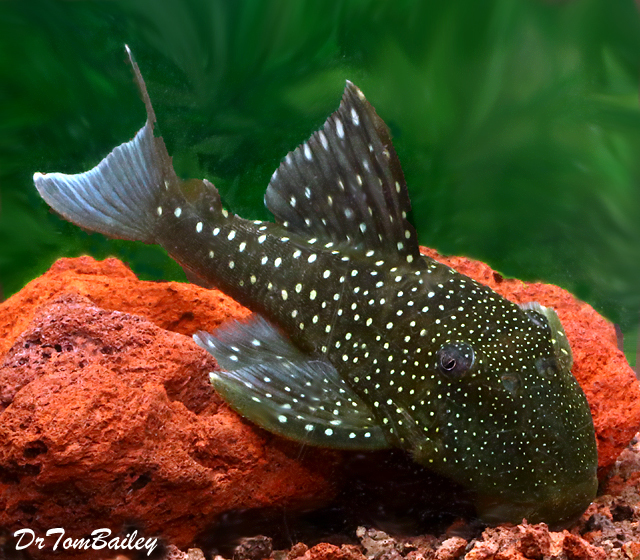 "Premium, Wild, Rare, New, Blue Phantom Pleco, 3.5"" to 4"" long"