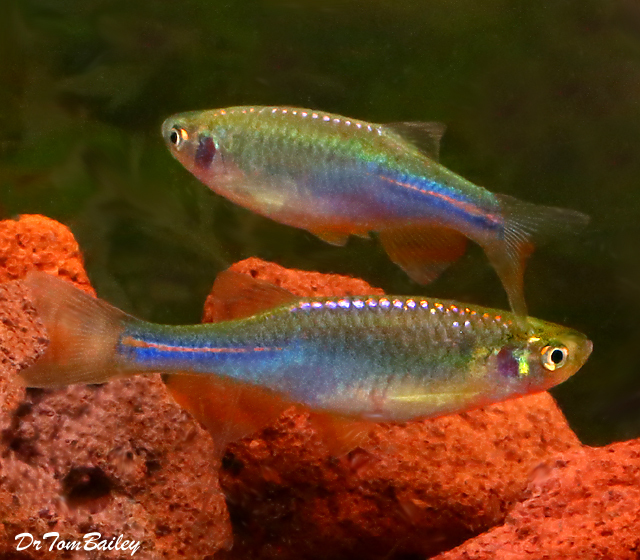 "Premium Rare Pearl Danio, 1.5"" to 2"" long"