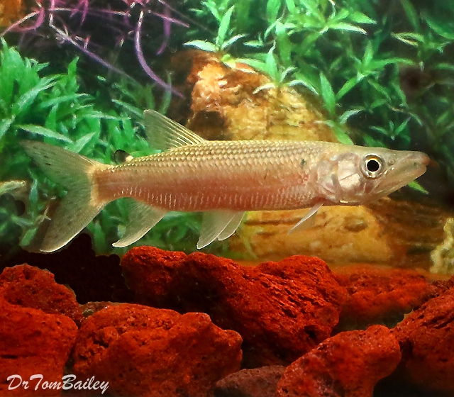 """Premium, Rare and Wild, African Odoe Pike, 5"""" to 6"""" long"""