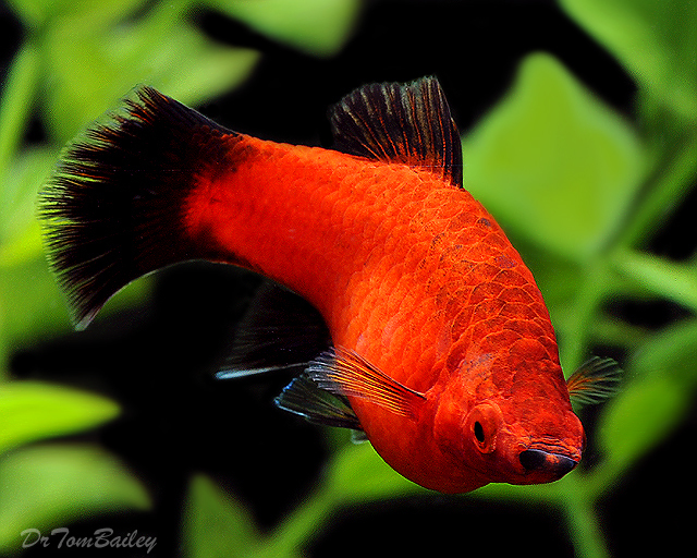 "Premium Red Wag Platy, 1"" to 1.2"" long"