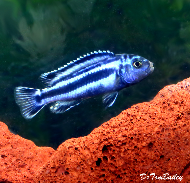 "Premium New Maingano Malawi Mbuna Cichlid, 1.5"" to 2"" long"