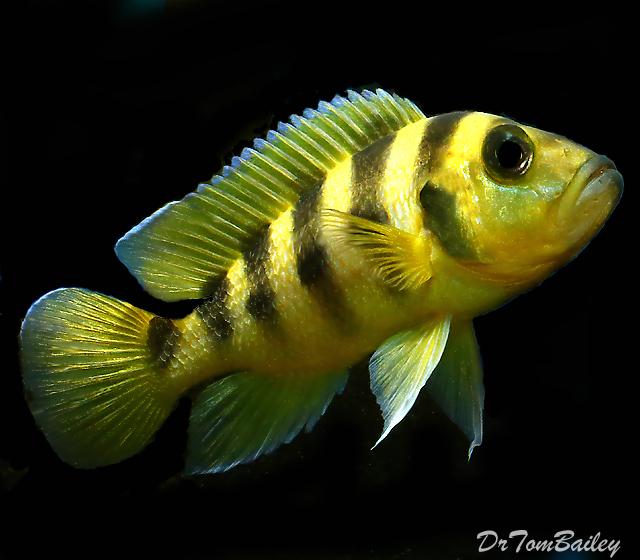"""Premium Rare, Lake Tanganyika Neolamprologus Sexfasciatus Golden Cichlid, 2"""" to 2.5"""" long"""
