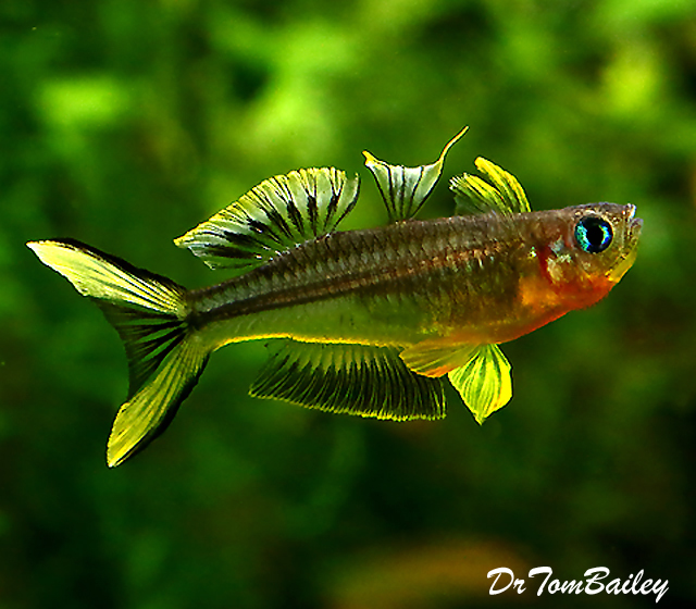 "Premium Furcatus Blue Eyes, 0.5"" to 0.7"" long"