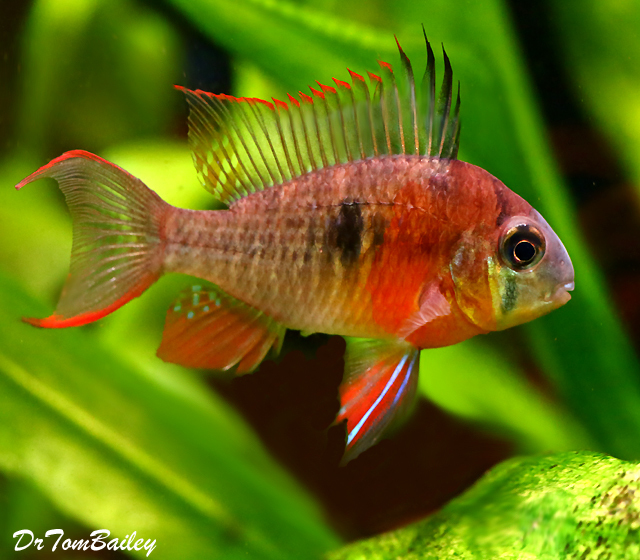 """Premium New Crown Ruby Bolivian Ram Cichlid, 2"""" to 2.5"""" long and growing fast."""
