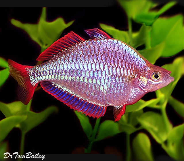 "Premium Neon Dwarf Rainbowfish, Size: 1"" to 1.5"""