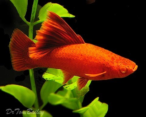 "Premium FEMALE, Rare Hifin Red Eye Red Swordtail, 2.5"" to 3"" long"