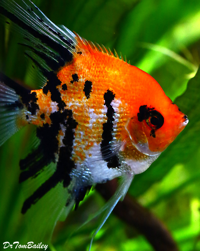 "Premium Pearlscale Koi Angelfish, 2"" to 2.5"" tall"
