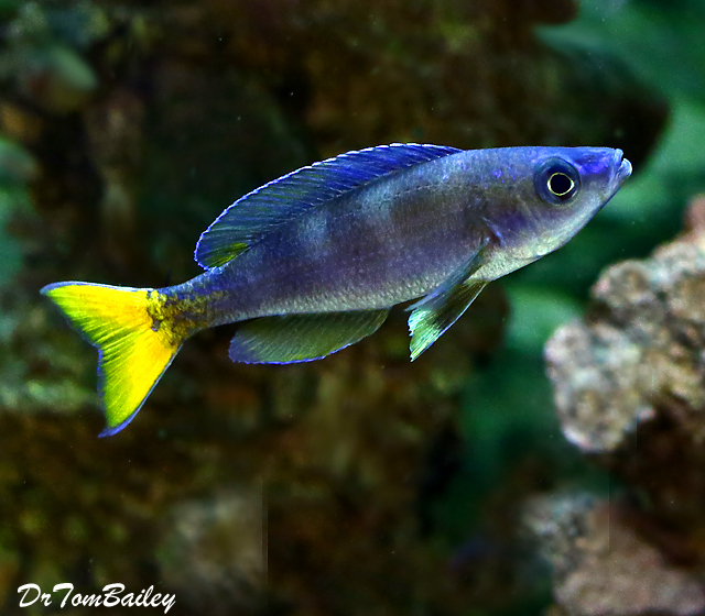 "Premium Lake Tanganyika Male Cyprichromis Leptosoma Cichlid, 2"" to 2.5"" long"