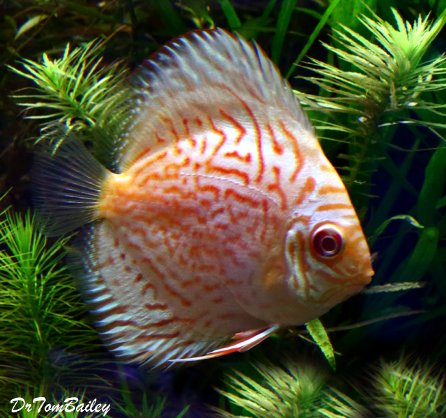 "Premium Pastel Blue & Red Discus, 2.5"" to 3"" long"