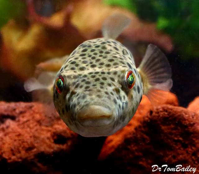 "Premium and Rare, Freshwater Abei Pufferfish, 2.5"" to 3"" long"