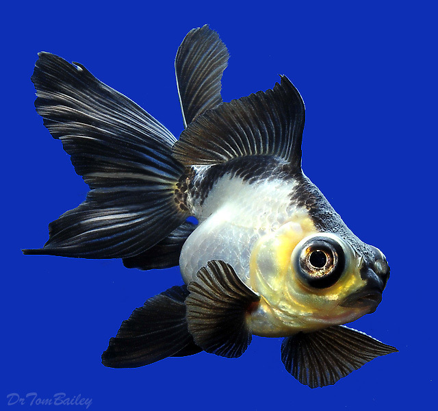"Premium New Rare, Panda Butterfly-Tail Goldfish, 1.5"" to 2"" long"
