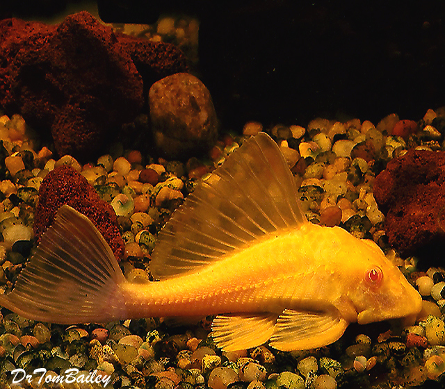"Premium Red Eye Gold Marbled Sailfin Pleco, 2"" to 2.5"" long"