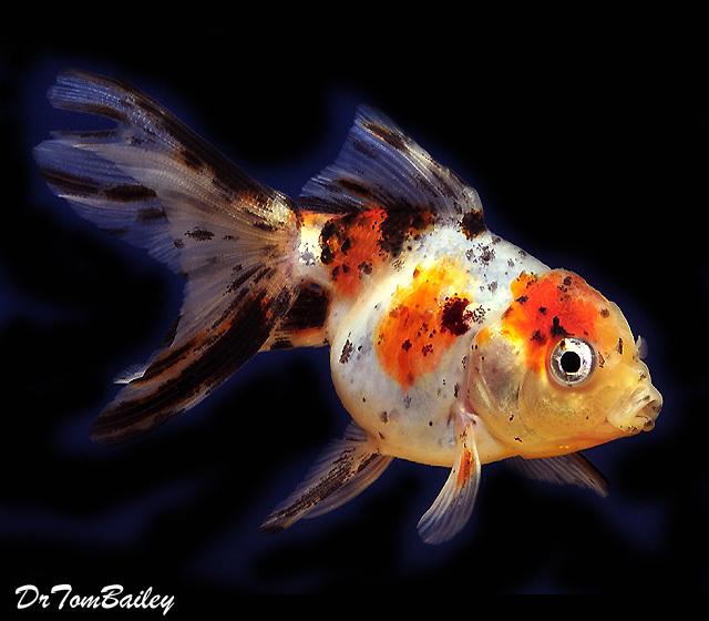 """Premium Calico Oranda Goldfish, 3.5"""" to 4"""" long"""
