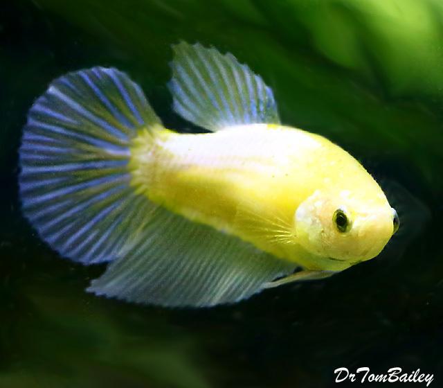 """Premium Yellow Halfmoon Female Betta Fish, 1.5"""" to 2"""" long"""