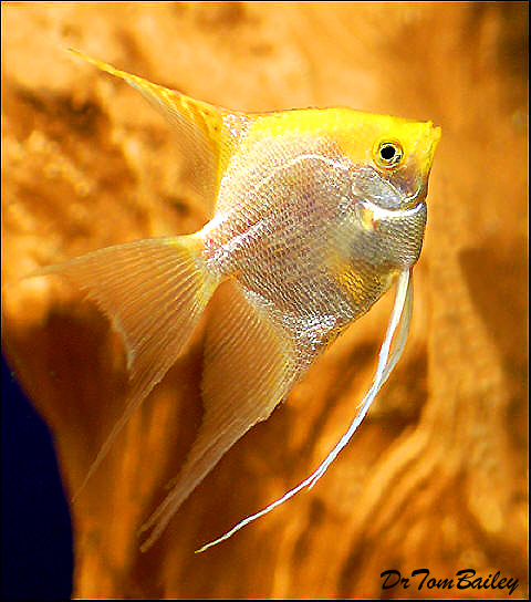 "Premium Gold Pearlscale Angelfish, 1.5"" to 2"" tall"
