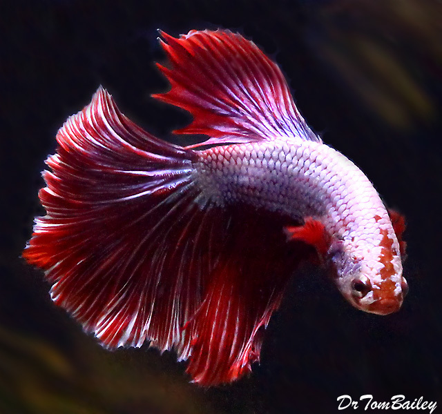 "Premium WYSIWYG, Rare Male Halfmoon Dragonscale Betta, 2.5"" to 3"" long"