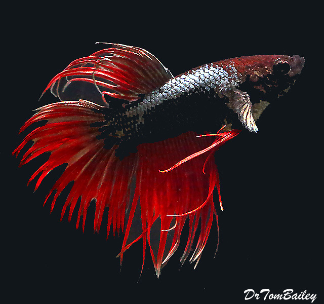 """Premium WYSIWYG, Rare Male  Crowntail Cambodian Betta, 2"""" to 2.5"""" long"""