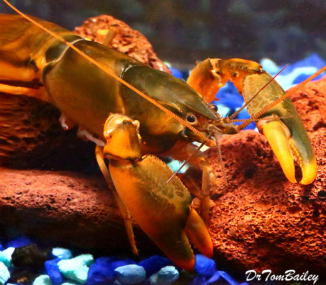 "Premium New and Rare, Orange-Hand Lobster, 3"" to 3.5"" long"