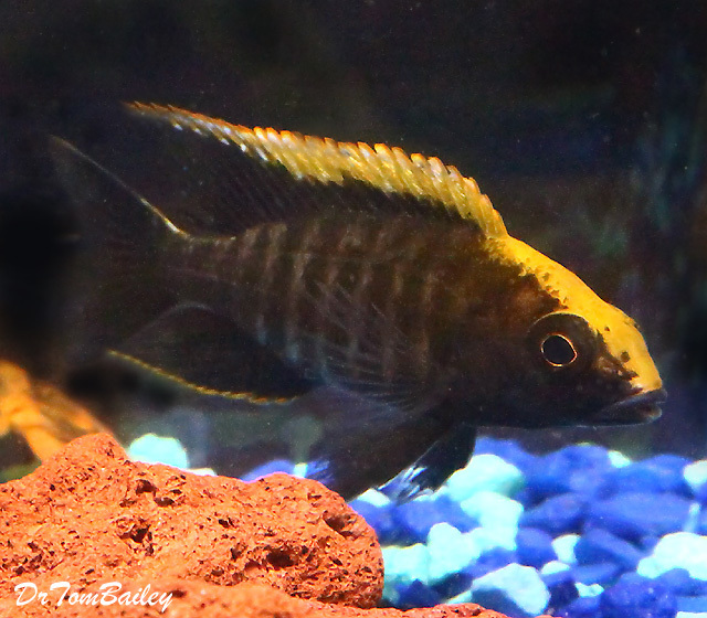 """BABY Lake Malawi Sulfur Head Malawi Peacock Cichlid, 0.5"""" to 0.75"""" long, in our Tank E-67."""