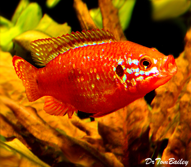 "Premium Red Diamond Jewel Cichlid, 4"" to 5"" long"