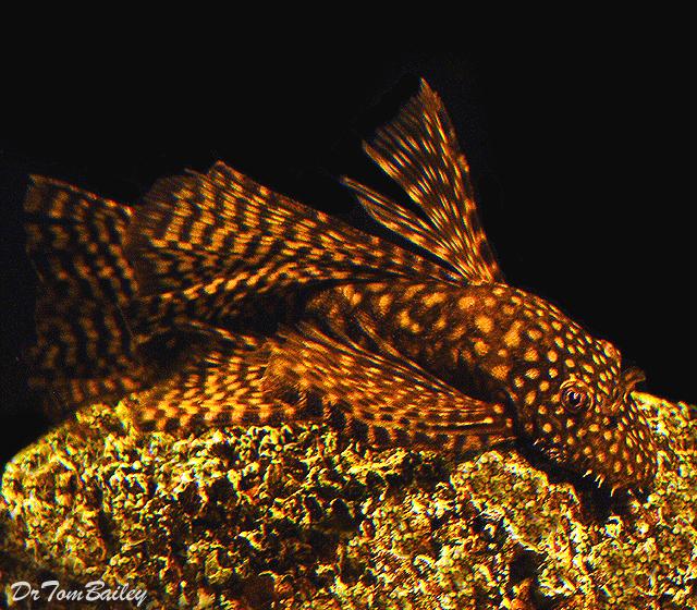 "Premium Chocolate Longfin Bushymouth Pleco, 1"" to 1.2"" long"