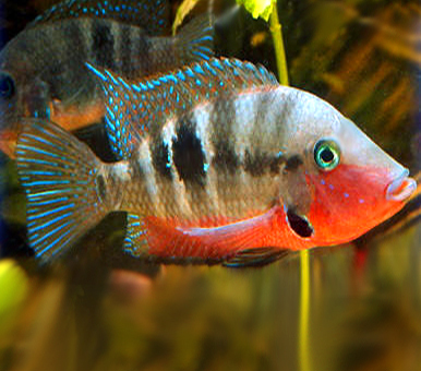 "Premium Firemouth Cichlid, 3.5"" to 4"" long"