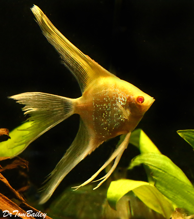 "Premium Albino Veiltail Pearlscale Angelfish, 3"" to 3.5"" tall"