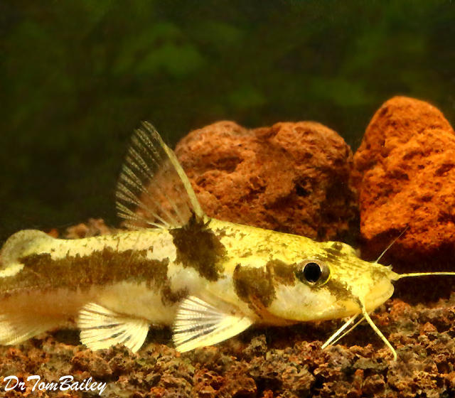 "Premium Rare Ornate African Bagrid Catfish, Chrysichthys ornatus, Size: 3.5"" to 4"""
