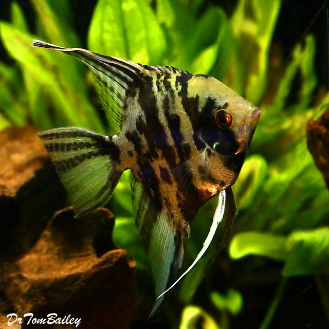 """Premium Jumbo Marbled Angelfish, 4"""" to 4.5"""" tall"""