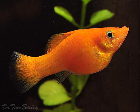 "Premium Gold Female Sailfin Molly, 2.5"" to 3"" long"