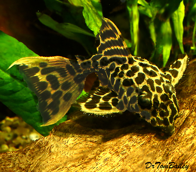 "Premium, New, and Rare Leopard Cactus Pleco, 1"" to 1.2"" long"