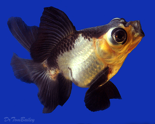 "Premium Rare, Panda Butterfly-Tail Telescope-Eye Goldfish, 3"" to 3.5"" long"