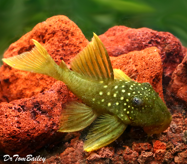Premium, Wild, Rare New, Green Phantom Pleco, 4