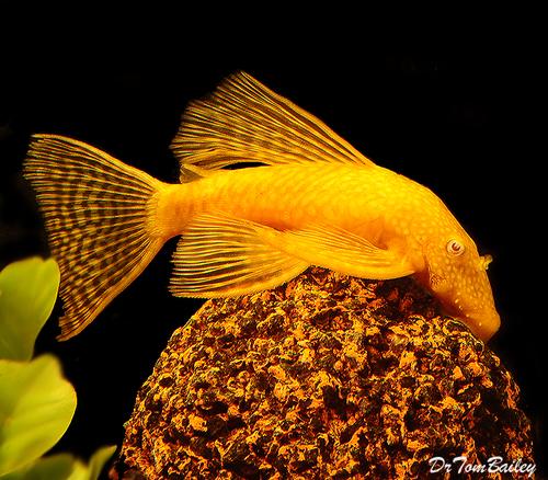 Premium Gold Longfin Pleco, 6