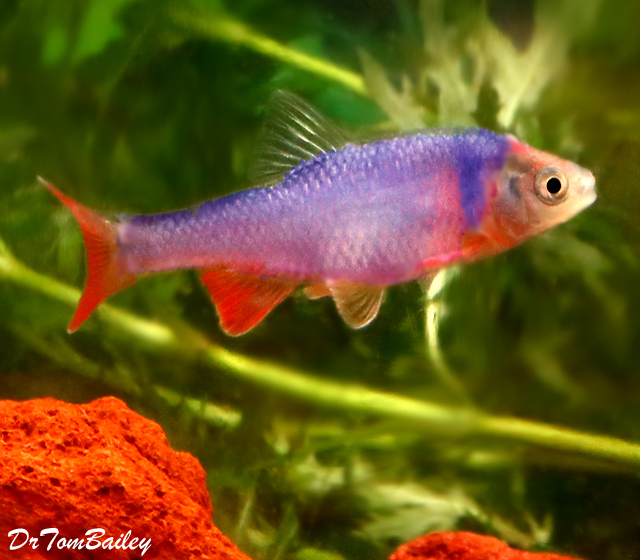 Premium, New, Rainbow Dace, 1.5