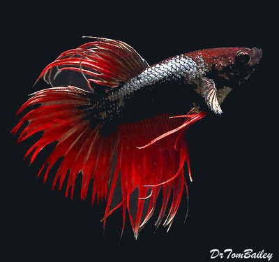 Premium MALE Unique Crowntail Betta Fish, Size: 1.5
